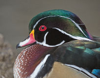 Woodduck drake in water close up royalty free stock photography