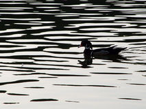Woodduck Silhouette. Silhouette of a woodduck swimming stock image