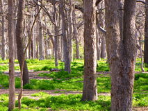 Wooded Forest Royalty Free Stock Image