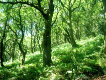 Wooded hillside. Welsh countryside during the summer Royalty Free Stock Photo