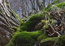 Wooded hillside in springtime with European beeches and green moss. Wooded hillside in springtime with European beeches and lush green moss Royalty Free Stock Photo