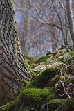 Wooded hillside in springtime with European beeches and green moss. Wooded hillside in springtime with European beeches and lush green moss Royalty Free Stock Photos