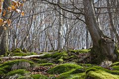 Wooded hillside in springtime with European beeches and green moss. Wooded hillside in springtime with European beeches and lush green moss Stock Photos