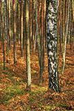 Wooded landscape of mixed forest thicket in autumn season. Wooded landscape of an European mixed forest thicket in autumn season in central Poland Stock Photography