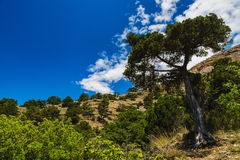 Wooded mountain range. High juniper tree on the background of the rocky mountains in the juniper grove and clear blue sky Royalty Free Stock Photos