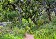 Wooded Path in Spring With Canopy of Live Oak. Wooded path in spring with green foliage, Coastal Live Oak back lit by sun in Santa Barbara County, California Royalty Free Stock Photos