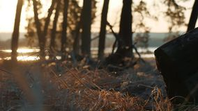 Wooded Pine forest dry landscape grass stump silhouette trees backlit by golden sunlight before sunset with sun rays. Pouring through trees on forest floor stock video