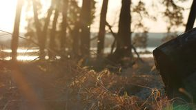 Wooded Pine forest landscape dry grass stump silhouette trees backlit by golden sunlight before sunset with sun outdoors. Rays pouring through trees on forest stock video footage