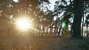 Wooded Pine forest lifestyle silhouette trees backlit by golden sunlight before sunset with sun rays pouring through. Trees on forest floor illuminating tree stock footage