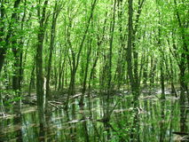Wooded water landscape. Dense green trees in and around water on a summer day Stock Image