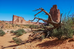 Reaching arms of a dead tree. Old dead tree in Arches Stock Images