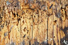 Wooden background of decayed plank. Anobium punctatum or common furniture beetle attack royalty free stock photo