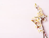Wooden background with flowering apricot branches. Royalty Free Stock Photography