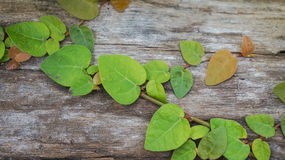 Wooden background with ivy Royalty Free Stock Photography