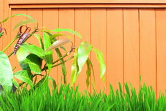 Wooden background with mango leaves and grass Royalty Free Stock Image