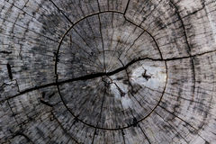 Wooden background and texture,rings of cut tree trunk. Royalty Free Stock Photo