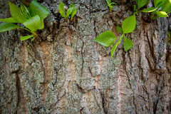 Wooden background trunk of tree Royalty Free Stock Images