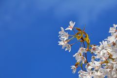 White cherry blossom over blue sky close up royalty free stock images