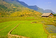 Wooden barn in rice crops Royalty Free Stock Photography