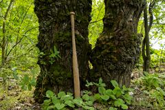 A wooden baseball bat stands near a tree in the forest, a bat for self-defense