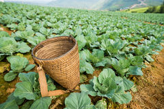 Wooden basket for collect cabbage lettuce Royalty Free Stock Photo