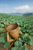 Wooden basket for collect cabbage lettuce Royalty Free Stock Image