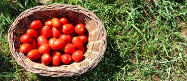 Basket full of fresh, red tomatoes on green grass. Fruits and vegetables background. royalty free stock photo