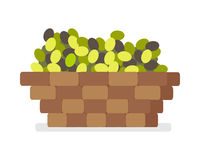 Wooden Basket with Olives Isolated on White Vector Royalty Free Stock Images