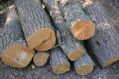 Wooden beams, decks and hemp of felled tree on the ground stock image