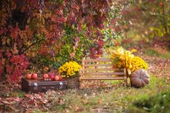 Wooden bench in the autumn park, a chest, flowers, pumpkins with apples, atmospheric autumn stock photography