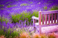 A wooden bench and Lavender fields in England, UK. A wooden retro bench and Lavender fields in England, UK Stock Photo