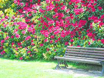 Wooden bench in the park and red rhododendron Stock Photography