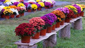 Mums on a Bench. A wooden bench with potted chyrsanthemums in rust, coral, fuchsia, purple, pink yellow and gold The mums are on a wood plank that is supported royalty free stock photos