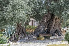 Wooden bench in the shade of old olive trees in the garden.  stock images