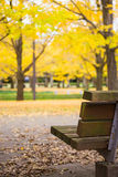 Wooden bench in yellow leaves ginkgo leaves in autumn Royalty Free Stock Images