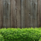 Wooden board and box tree Royalty Free Stock Photo