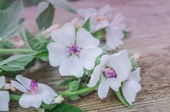 Marsh mallow or common marshmallow. Wooden board and common marsh mallow.Marshmallow Althaea officinalis flower Royalty Free Stock Images