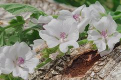 Marsh mallow or common marshmallow. Wooden board and common marsh mallow.Marshmallow Althaea officinalis flower Stock Images