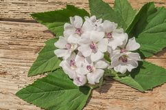 Marshmallow Althaea officinalis. Wooden board and common marsh mallow. Marshmallow Althaea officinalis flower Stock Photo