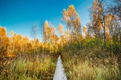 Wooden boarding path way pathway in autumn forest.  Royalty Free Stock Images