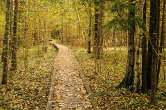 Wooden boarding path way pathway in autumn forest Royalty Free Stock Image