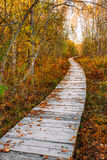 Wooden boarding path way pathway in autumn forest near bog marsh Stock Photos