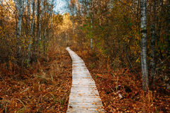 Wooden boarding path way pathway in autumn forest near bog marsh Royalty Free Stock Photography
