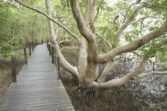 Wooden boardwalk along mangrove forest. Wooden boardwalk along tropical mangrove forest Royalty Free Stock Photos