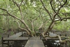 Wooden boardwalk along mangrove forest. Wooden boardwalk along tropical mangrove forest Stock Image