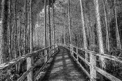 Wooden Boardwalk. In the everglades in black and white royalty free stock image