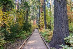 Wooden boardwalk through an evergreen trees forest, Calaveras Big Trees State Park, California royalty free stock photos