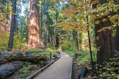 Wooden boardwalk through an evergreen trees forest, Calaveras Big Trees State Park, California royalty free stock photography