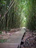 Wooden boardwalk path through dense bamboo forest, leading to famous Waimoku Falls. Popular Pipiwai trail in Haleakala National Pa. Wooden boardwalk hike through royalty free stock photos