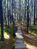 Wooden boardwalk pathway through forest of lodgepole pine trees Royalty Free Stock Images